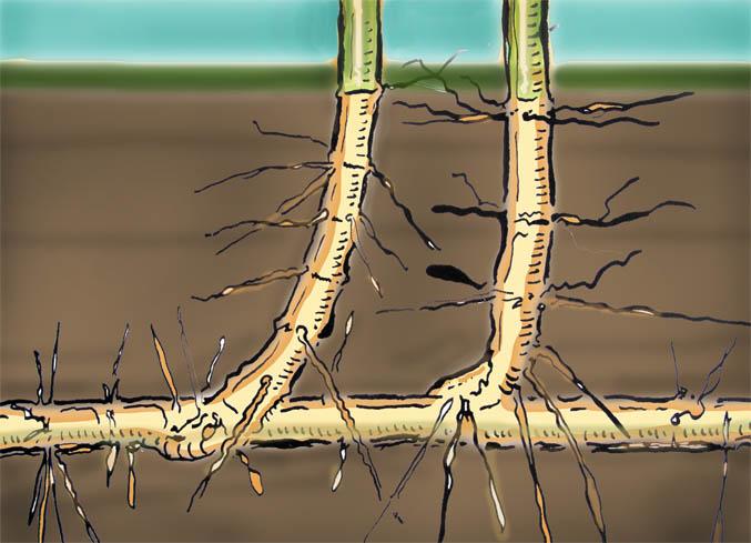 bamboo_running_roots20c